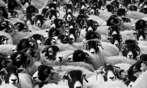 Sheepdog Syndrome